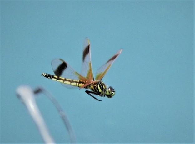写真: コフキトンボ♀帯型飛翔