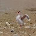 写真: 雛の羽ばたき
