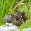 写真: バンの幼鳥1