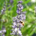 写真: ラベンダーにミツバチ