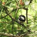 写真: 松の中飛び回る1