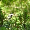 写真: 松の中飛び回る2