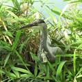 アオサギの幼鳥