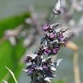写真: ミズカンナの花