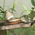 写真: 国蝶オオムラサキ裏面