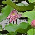 写真: ハスの花