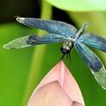 写真: 蓮に蝶トンボ1
