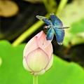 写真: 蓮に蝶トンボ2
