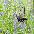 写真: ジャコウアゲハ♀飛翔