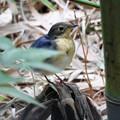 竹藪の中のコルリ