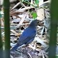 竹藪の中のコルリ3