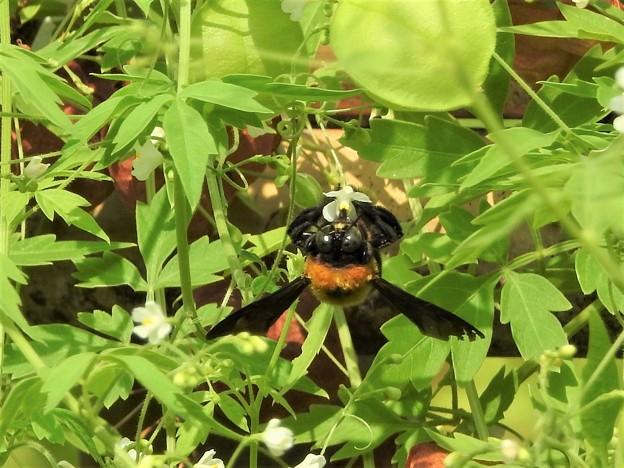 風船葛にクマバチ