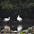 池の周りのコウノトリ