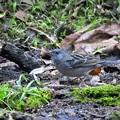 小鳥の森のクロジ♂