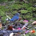 小鳥の森にルリ君-3