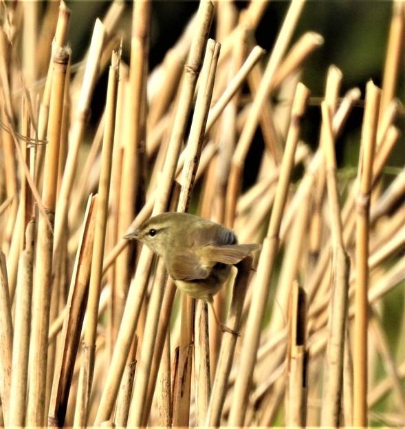 葦の中のウグイス