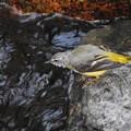 Photos: 滝道のキセキレイ