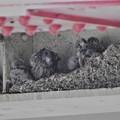 高架下のチョウゲンボウ雛