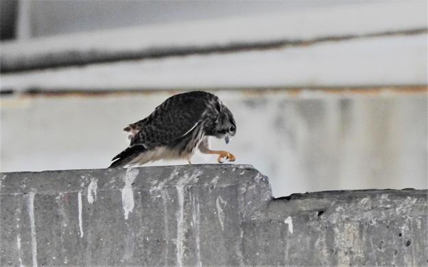 チョウゲンボウ幼鳥