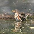クロツグミ若-水浴び