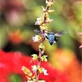 Photos: 幸せを呼ぶ青い蜂-5