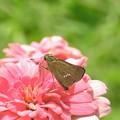 お花絡みの蝶さん-1