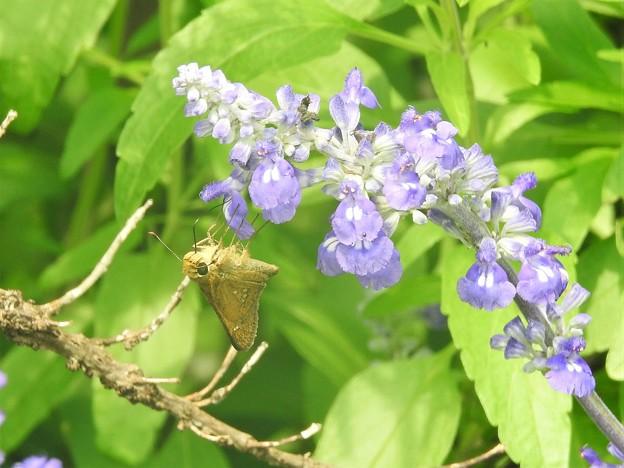お花絡みの蝶さん-2