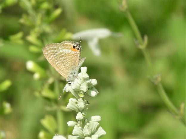 お花絡みの蝶さん-3
