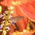 お花絡みの蝶さん-5