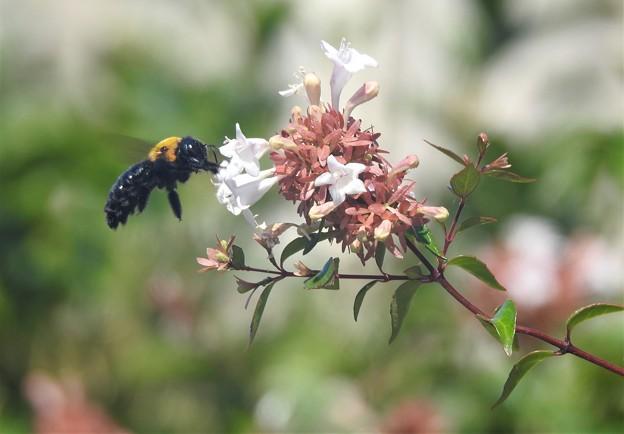 アベリアにハチ