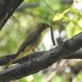 オオルリ♀毛虫ゲット