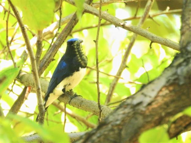 オオルリ♂毛虫ゲット