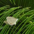 クロマダラソテツシジミ(翅の裏面)
