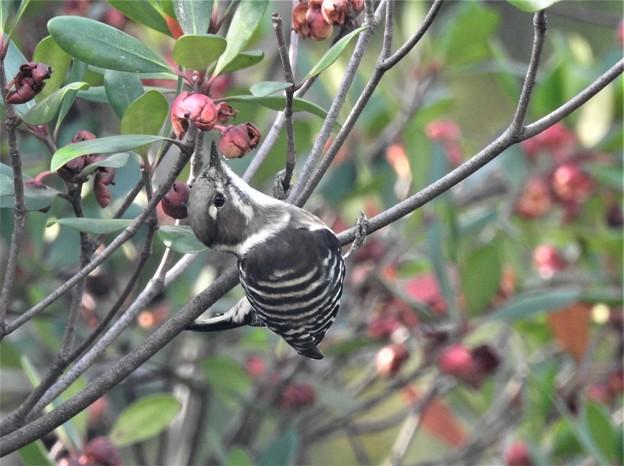 モッコクの実を啄むコゲラ-1