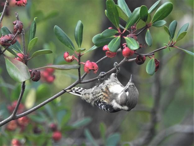 モッコクの実を啄むコゲラ-2
