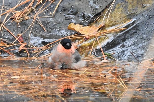 Photos: ウソ♂水浴び -3