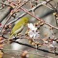 Photos: 桜にメジロ