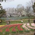 Photos: チュウリップ畑