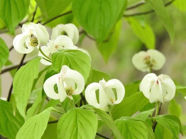 白いカールの花