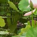 蓮池にカイツブリ
