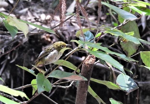 メジロ幼鳥