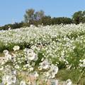 花の丘のコスモス