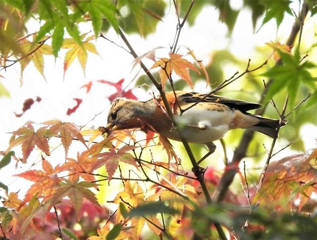 秋色アトリ