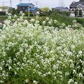Photos: 大根の花