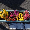 Photos: あさつゆ広場の菊