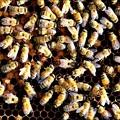 女王蜂を探せ