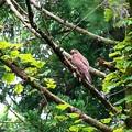 写真: 森の中のサシバ