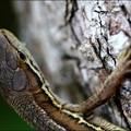 Photos: カナヘビ