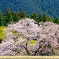 Photos: 板荷の桜