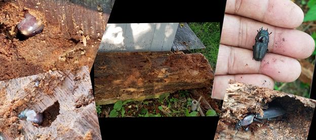 Photos: 朽ち木のクワガタ